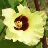 momenflower